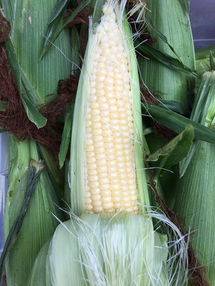Sweet Corn, fresh from the field