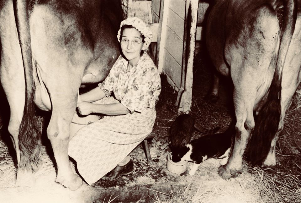 Myrtle Smith milking
