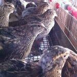 quail hens