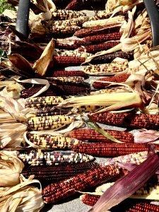 Indian corn on Smith Farm