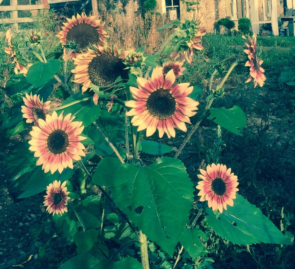pink sunflowers at Smith Farm