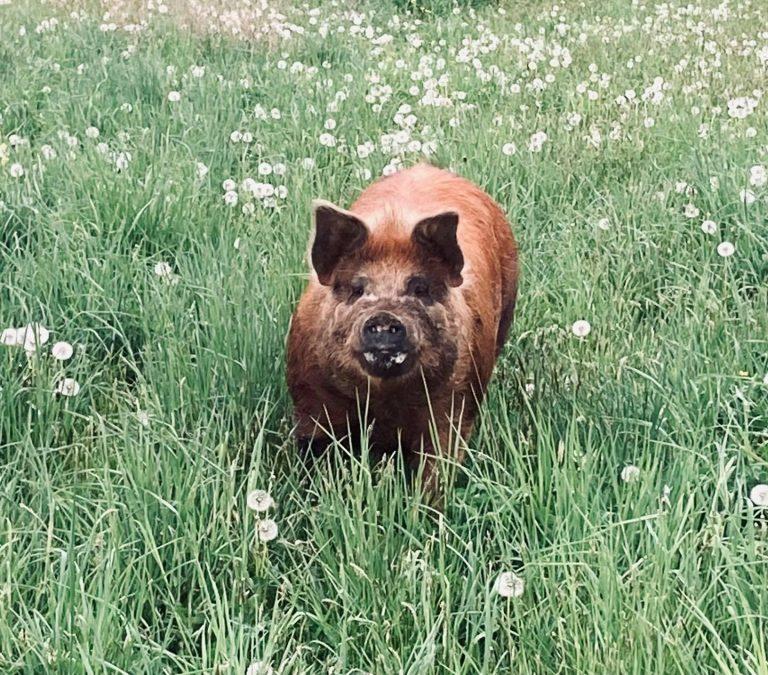 Female pig in grass field